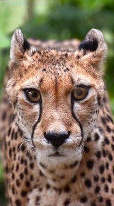 OMG !! so AMAZING LOOK ☀ Cheetah #photo by NB-Photo on DeviantArt #animal wildlife pet nature adorable big cat