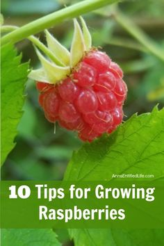 Doing some organic gardening is ideal and these tomatoes gardening tips are some of the best you will come across. Growing tomatoes in pots is ideal if you are suffering from limited garden space. If you are into the hobby of home gardening or