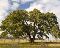 There is a tree located in a small town called Snook in Texas (pop. certified by an arborist to be around 500 years old. The signatures on petition) Oak Forest, Live Oak Trees, Mother Earth, National Parks, Environment, March 7, April 1st, Texas