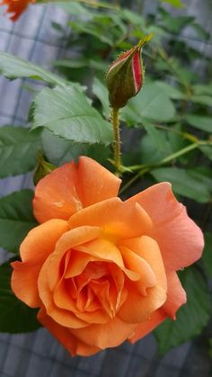 Very pretty Orange-Coral Colored Rose Beautiful Rose Flowers, Exotic Flowers, Amazing Flowers, Red And White Roses, Yellow Roses, Pink Roses, Orange Rose Bouquet, Orange Flowers, Most Popular Flowers