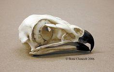 Red-tailed Hawk Skull Bone Clones BC-078