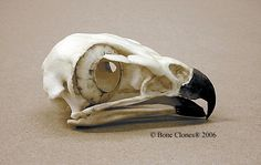 Red-tailed Hawk Skull Bone Clones BC-078