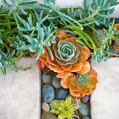 Echeveria rosettes and blue Senecio mandraliscae grow between concrete pavers in a Malibu beach house path, adding tidepool-like splashes of sea greens and ocean blues.