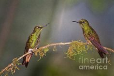 Two Rufous tailed hummingbirds
