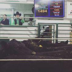 They are selling some fancy black cattle today.  #krosecattle #montana #familyranch #bestofmontanaag #bestofmontana #farm365 #salebarn #cattle
