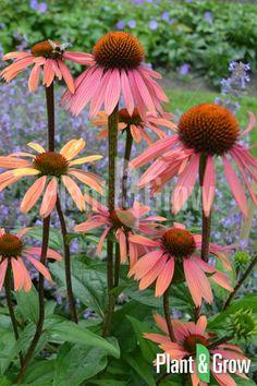 Tea Plant, Parts Of A Plant, Flower Boxes, Garden Plants, Flowers Garden, Beautiful Flowers, Exotic Flowers, Orange Flowers, Watercolor Flowers