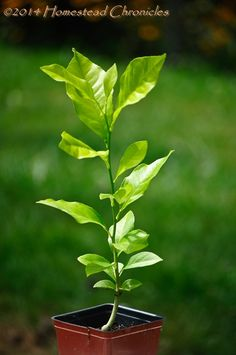 Start Your Own lemon trees... Apple Trees From Seeds just for fun