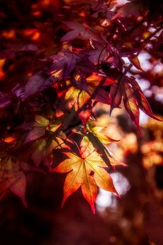Cranberry shaded leaves As Autumn dies we look to the winter for splashes of colour and perfume.
