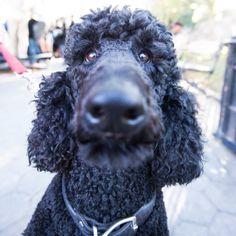 Obie, Standard Poodle (3 y/o), Washington Square Park, New York,...//the dogist