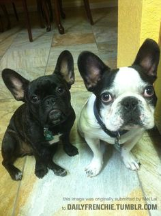 Lilo & Stitch - French Bulldogs (Frenchies)