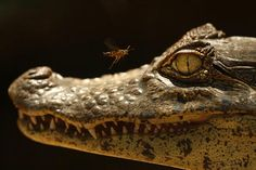 Caiman, photo by Jeffrey Arguedas in Costa Rica