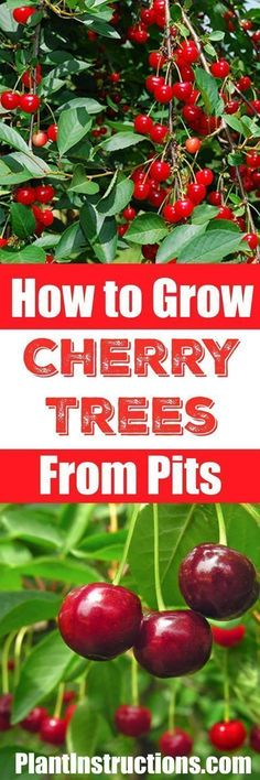 How to Grow a Cherry Tree #organicgardeningideas