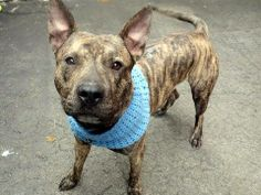 TO BE DESTROYED - FRIDAY - 03/28/14 - Manhattan Center    DELL - A0993824   MALE, BL BRINDLE / BLACK, PIT BULL MIX, 3 yrs  STRAY - STRAY WAIT, NO HOLD Reason STRAY   Intake condition NONE Intake Date 03/13/2014, From NY 10026, DueOut Date 03/16/2014 https://www.facebook.com/photo.php?fbid=772314962781385&set=a.617938651552351.1073741868.152876678058553&type=3&permPage=1