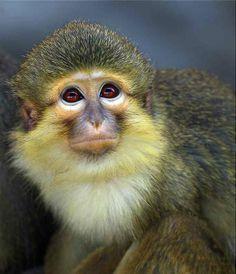 Southern Talapoin Monkey | Talapoin Monkey