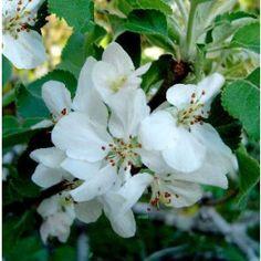 Malus sylvestris - Holzapfel / Gemeiner Apfel jetzt günstig in Ihrem MEIN SCHÖNER GARTEN - Gartencenter schnell und bequem online bestellen.