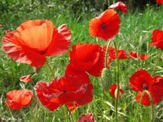 casual poppies
