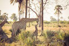 Bonding giraffe