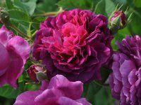 Erinnerung an Brod rose, Hybrid Setigera, Shrub rose