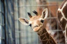 Giraffenbaby Dschibuto hat in der Stuttgarter Wilhelma das Licht der Welt erblickt. http://www.stuttgarter-zeitung.de/inhalt.video-aus-der-wilhelma-so-kam-das-giraffen-baby-auf-die-welt.b8b647a5-427a-4946-9844-66ee08ceb331.html http://www.stuttgarter-zeitung.de/inhalt.kinderwissen-wie-die-giraffe-in-der-wilhelma-geboren-wurde.e9a6a57e-24fe-4ff0-9668-73f97941d0c6.html