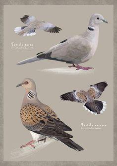 IL·LUSTRACIÈNCIA: Tórtola turca Vs Tórtola europea - Diego Ortega ... Pretty Birds, Beautiful Birds, Ave Tattoo, Pet Ducks, Biology Art, Bird Identification, Bird Poster, Draw On Photos, Nature Drawing