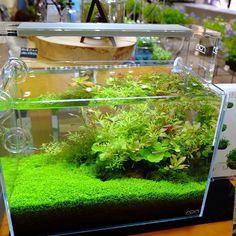 【aquashopwasabi】さんのInstagramをピンしています。 《京都府立植物園「初夏の園芸市」での当店展示水槽 侘び草を使用したお手軽36cm水槽🍀 初心者の方でも簡単に作れるレイアウトにしてみました🔰 🌳The Exhibition of aquatic plants in Kyoto Botanical Gardens🌳 #aquadesignamano#aquaticplants#aquashopwasabi#aquarium#natureaquarium#waterplants#plants#熱帯魚#moss#flowerarrangement#greeninterior#interiorgreen#indoorgreen#indoorplants#ada#botanicalgarden#botanical#aquascape#aquascaping #水草#水草水槽#ネイチャーアクアリウム#ボトルアクアリウム#観葉植物#金魚#アクアリウム#メダカ#植物園#水槽#フラワーアレンジメント》