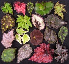 Begonia's leaves