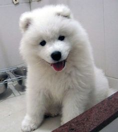 Samoyed puppy---the dogs i grew up around at my grandmother's : ) smiling dogs. ps. they are Russian!!