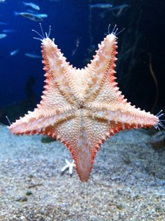 Unashamed Star Fish at the New England Aquarium, Boston, MA.
