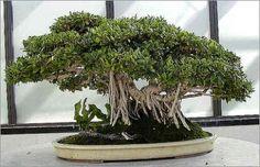 ficus benghalensis bonsai - Indian Banyan Tree