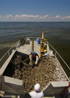 Planting oyster reef balls near Tilghman Island in the Chesapeake Bay. Photo by Erika Nortemann.