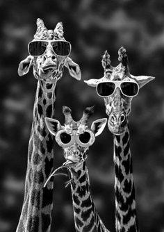 Giraffes in sunglasses! #optometry #humor