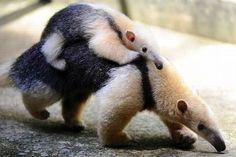 Mamá y cría de oso hormiguero