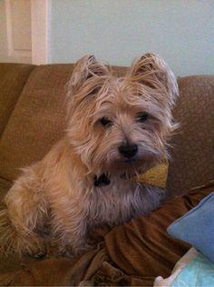 Cairn terrier...