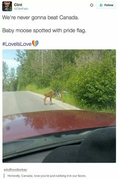 I don't care that its a pride flag that doesn't matter to me its the fact that a baby moose is walking around with a tiny little flag. too freaking cute!