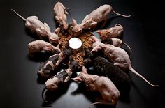 groupe de sphynx Voilà, il ne vous reste plus qu'à l'adopter. Je vous conseille vivement de visiter le site du Loof , il s'agit de l'organisme officiel en charge de l'émission des pedigrees des chats de race. Il fournit les adresses des clubs et des éleveurs sérieux.