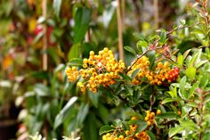 Pyracantha Firethorn - Semi-evergreen shrub. The fruit is a small pome, autumn ripening. Remains on shrub through winter. Prefers fertile well-drained soil in full sun to partial shade, H 8-10 ft. www.thepavilion.ie