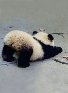 ♔ Baby panda <-- Cute little fluffle butt! ♔ Baby panda <-- Cute little fluffle butt! So Cute Baby, Baby Animals Super Cute, Cute Little Animals, Cute Funny Animals, Cute Cats, Cute Babies, Adorable Kittens, Cute Panda Baby, Big Cats