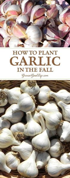 Garlic is one of the easiest crops you can grow in your garden. It is a long season crop with a unique growing pattern compared to other garden crops. Garlic is planted in fall in order to give it a head start and enough time to produce a larger bulb. Fall Vegetables, Growing Vegetables, Gardening Vegetables, Gardening For Beginners, Gardening Tips, Gardening Gloves, Gardening Services, Gardening Books, Gardening Supplies