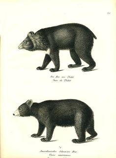 Antique print: picture of Tibetan Bear and American Black Bear - Ursus americanus