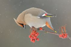 Bohemian Waxwing by Dominic Roy on 500px