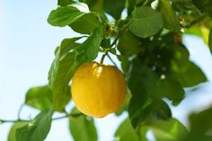 Grow a Lemon Tree from Seed in 5 Easy Steps