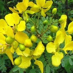 Natural Home Remedies for Bronchitis Home Remedies For Bronchitis, Senna Tea, Natural Home Remedies, Drinking Tea, Beverages, Healing, Tasty, Diet, Canning