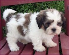 67 Ideas Dogs And Puppies Breeds Shih Tzu Teddy Bears Bear Puppy, Teddy Bear Puppies, Cute Puppies, Cute Dogs, Dogs And Puppies, Teddy Bears, Shichon Puppies For Sale, Doggies, Puppies Tips
