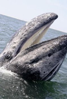 "Laughing Pacific Grey Whale near San Ignacio, Mexico from ""The Whale Keepers of San Ignacio."""