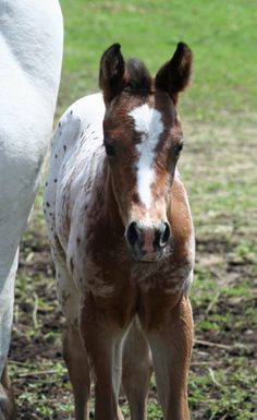 Lovely Appaloosa filly with a stunning head and excellent conformation. Pedigree is full of World and National Champions (ApHC and AQHA). This is a healthy, bold filly who should be tall (sire is 16.1 hands) and is already a show stopper with her outstanding color.Sire Kid Style is a son of AQHA World Champion. Please contact for more pictures and information at ardenlg@frontiernet.net or http://www.horseclicks.com/2014-gorgeous-tri-colored-leopard-appaloosa-filly/horses/663002
