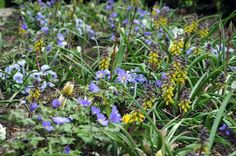 Muscari Macrocarpum Golden Fragrance, March-April. The buds first emerge from amongst the grey-green foliage a dusky purple, but take on yellow shades as the flowers open fully.
