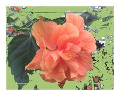 "Floral Note Card. ""Double Orange"" Hibiscus. Stunning Original Design on Premium Matte 5x7 Card Stock. Blank Interior Perfect For Your Note. by VintageArtForLiving on Etsy https://www.etsy.com/listing/467993799/floral-note-card-double-orange-hibiscus"