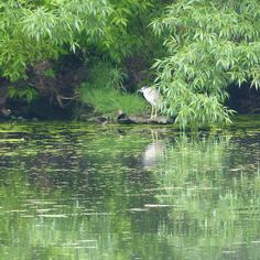 There was a family of these unusual looking birds that used to fish along Grenadier Pond in Toronto. Beautiful.