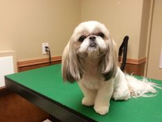Shih tzu haircut, pet trim, shih tzu groom
