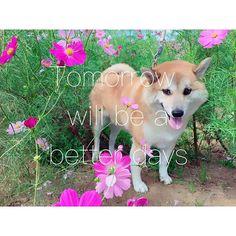 ︎∗*゚ 待ち受け🐕🐾💓 ︎∗*゚ #柴犬マロ#shibainu#shiba#愛犬#柴犬大好き#女の子#かわいい#柴犬#dog#shibaken#エサの時間#カウチポテト#couchpotato#マロ#柴#mydog#instadog #instagood#愛犬#japan#japandog#snapchat# #待ち受け#tomorrowwillbebetter#明日はきっといい日になる